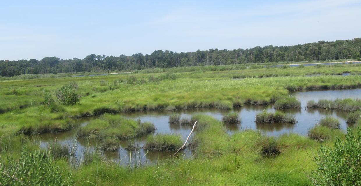 Salt marshes in Cattus Island County Park - Photo by Daniel Chazin