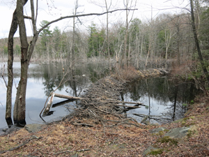 Beaver Dam along the Fire Tower Trail. Photo by Daniel Chazin.