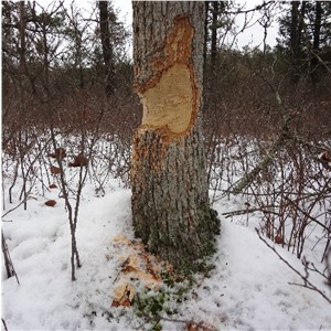 Beaver Activity at West Branch Wading River